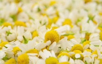 как приготовить крем из цветков ромашки